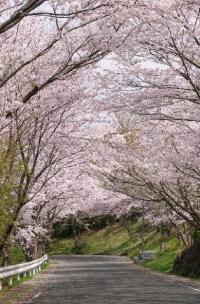 松島の桜坂